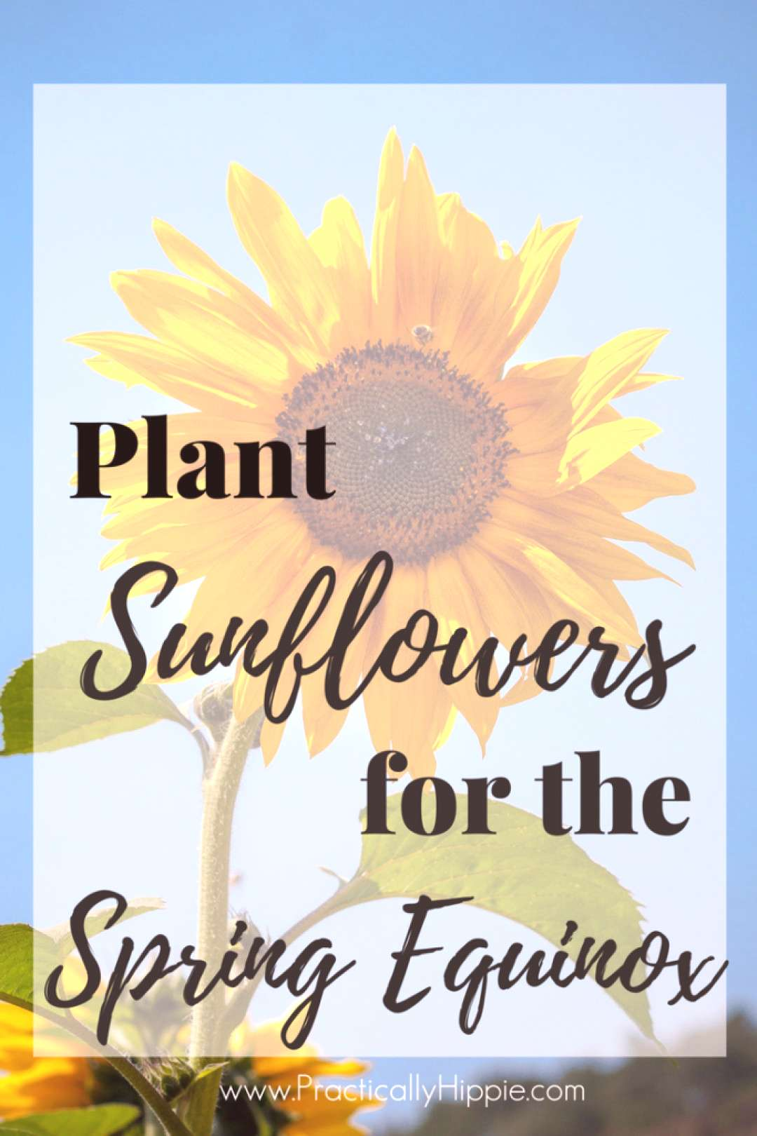 Planting Sunflowers for Spring Equinox - Rooted Childhood#childhood